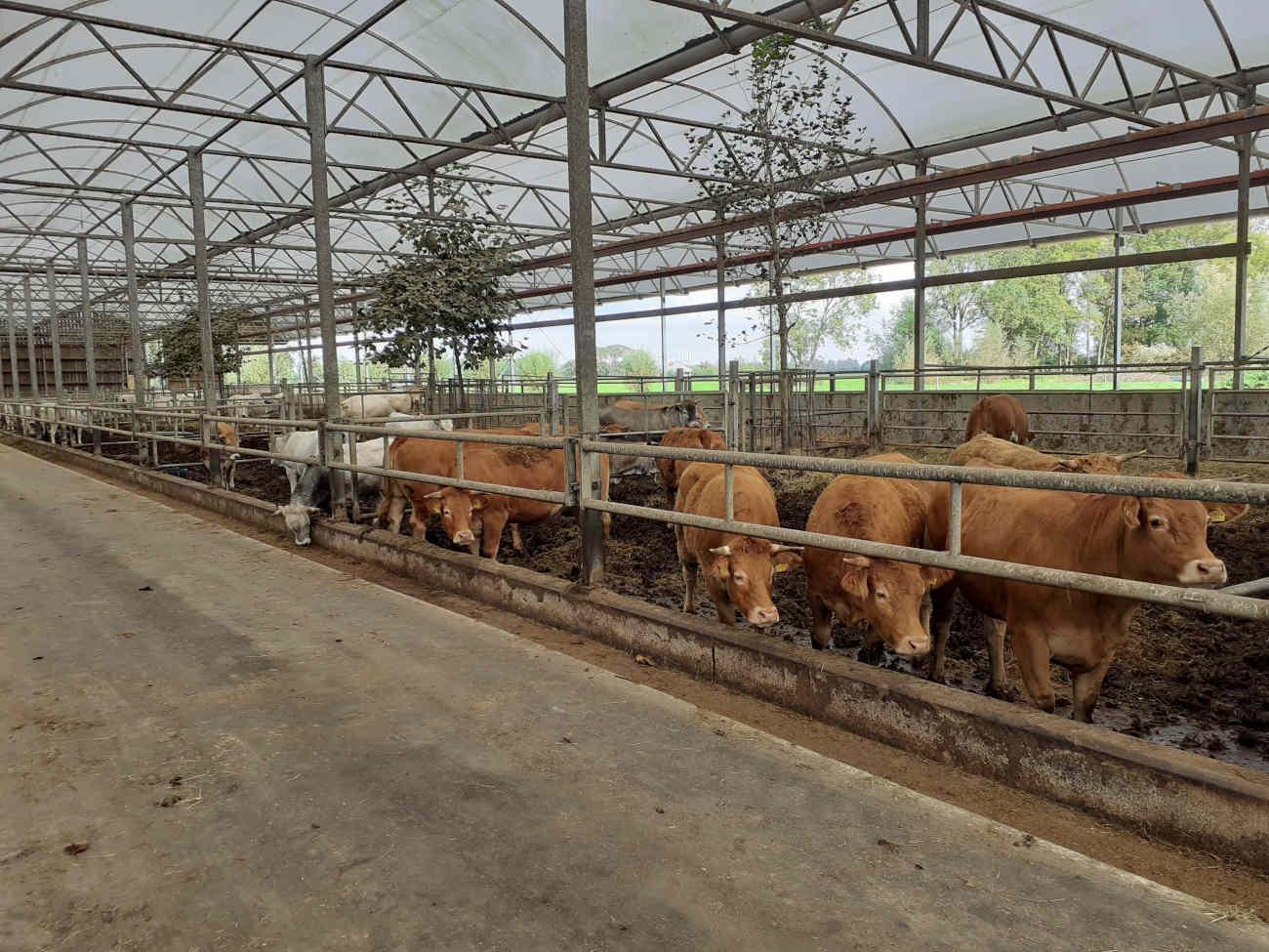 De koeien van Lindenhoff hebben zelfs bomen staan in hun stal.