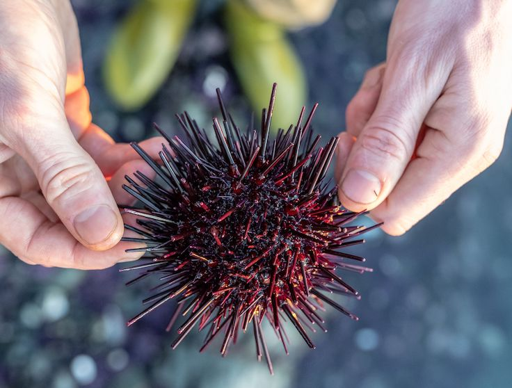 The team at Harbor House forages for many of its ingredients, like sea urchin from the icy cool waters off the Mendocino coast. Photo by Joe Weaver.