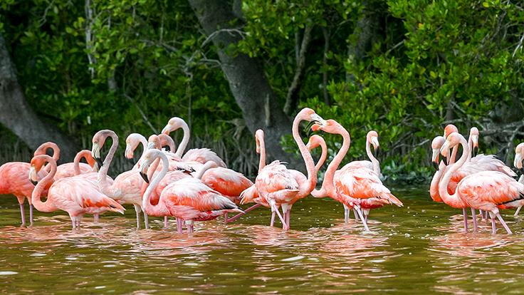 Flocks of flamingos in Celestún. Photo © Photo Beto/iStock